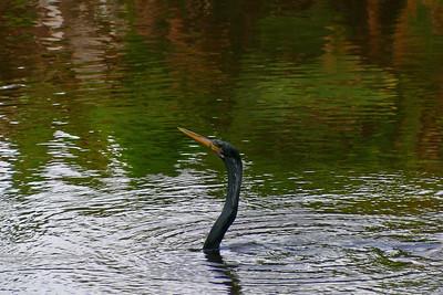 Anhinga (aka Snake Bird)