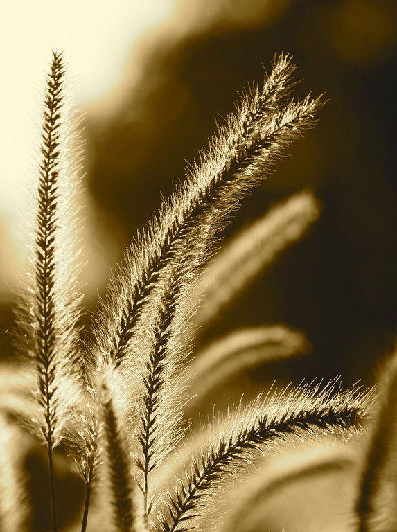 2nd Place (Red Ribbon) in the 2009 OC Fair Fine Arts Photography Exhibit.<br /> Title: Karley Rose<br /> Category: Black and White<br /> Details: Pennisetum Orientale also know as 'Karley Rose' is an Oriental Fountain Grass.