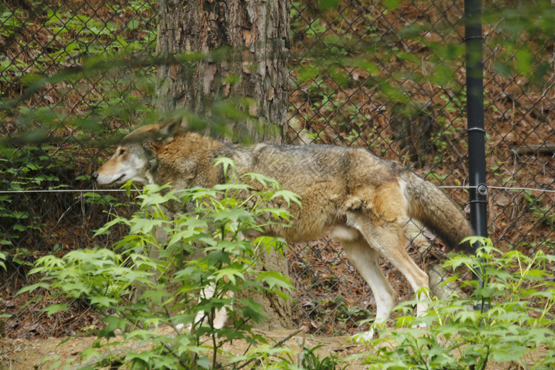 today, more than 100 red wolves roam their native habitats in eastern NC, and nearly 200 red wolves are maintained in captive breeding facilities throughout the US