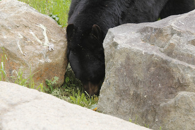 black bear at the Museum of Life & Science in Durham, NC