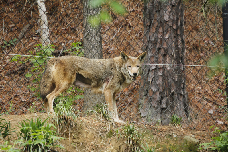 female red wolf