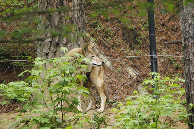 this is the male red wolf hearing the keepers with his breakfast