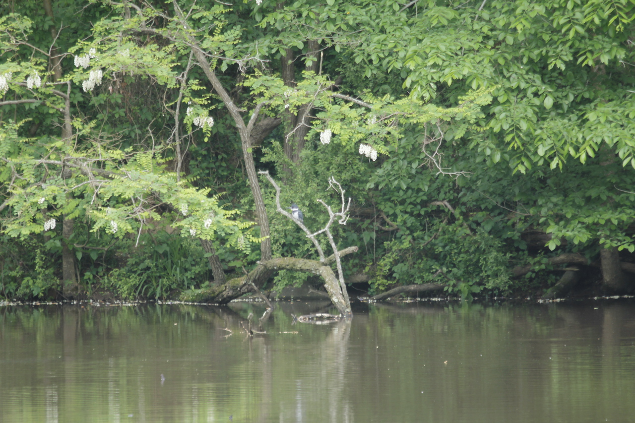 kingfisher on branch - too far away for my camera