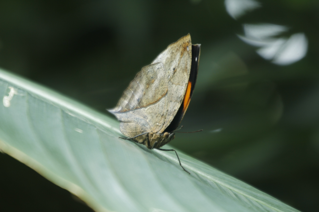 dead-leaf butterfly - more great camouflage