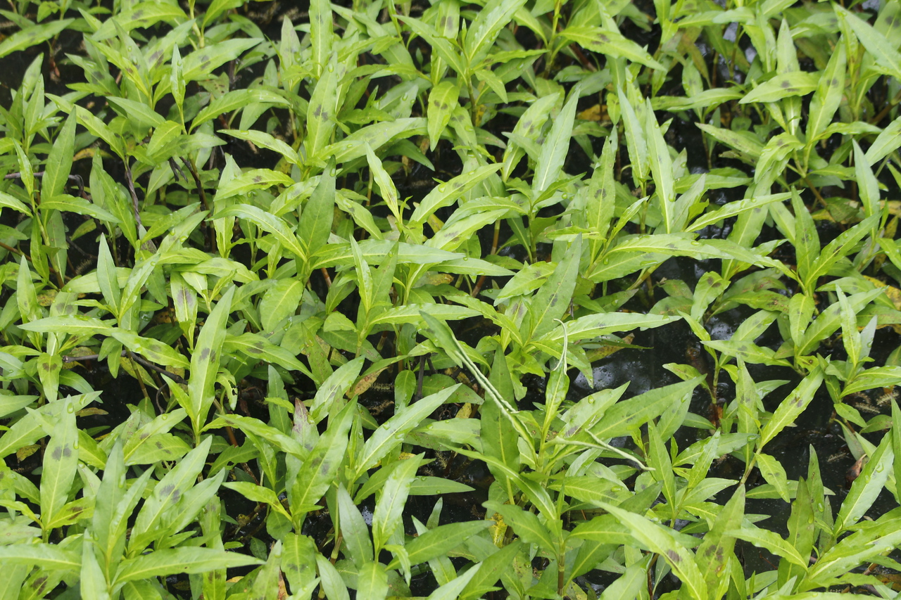 smartweed - a native plant - non-invasive - great for the frogs and other water critters