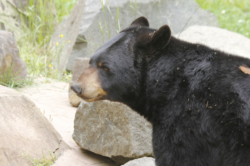 Museum of Life & Science has 4 black bears - Yona(f), Gus (neutered male), Virginia (f) and Mimi (f)
