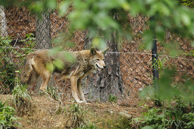 the red wolf was designated an endangered species in 1967 - this is the female