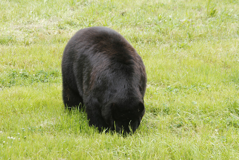 beautiful fur - the keepers put peanut butter mixed with other things out for breakfast; the bears have to nuzzle the grass to get it