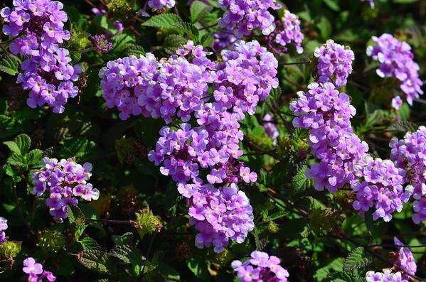 13-07-21 Flowers in Los Altos