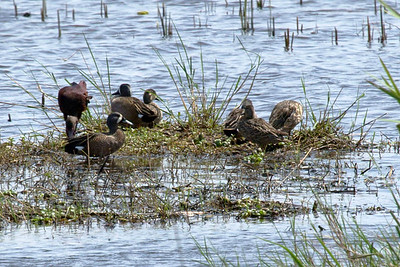 A redish egret (left) joins a group of blue-winged teal.