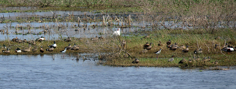 Another gathering of mallard ducks, blue-winged teal, black-necked stilt, American coot, white ibis.