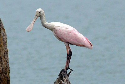 Roseate spoonbill perched upon a snag.