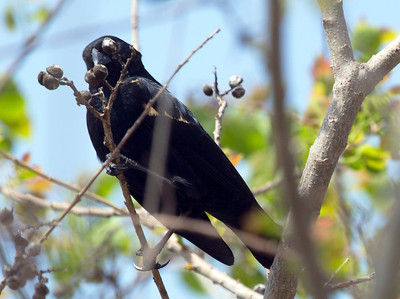 Red-winged blackbird in a budding tree.