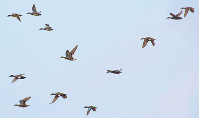 A flight of blue-winged teal.