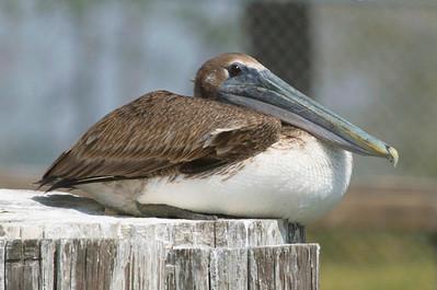 A sedate pelican.