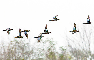 Another flight of blue-winged teal (dry brush).