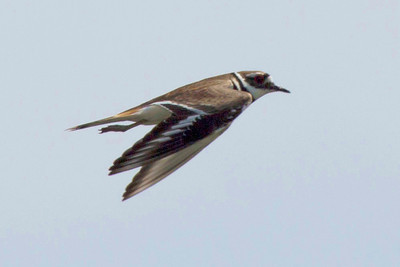 A killdeer in flight.