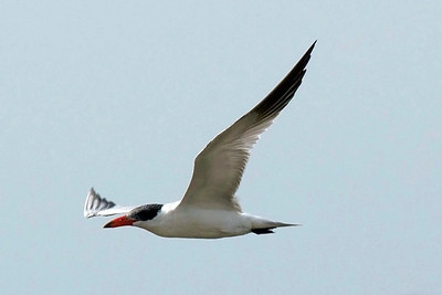 A common tern in flight.