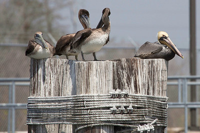 Four pelicans on a pier bundle.