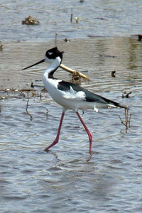 A black-necked stilt in the shallow water