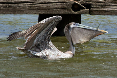 Pelican trying to swallow a large fish it has just caught.