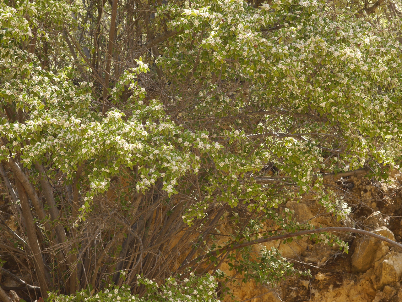 A flowering bush that I didn't recognize.<br /> <br /> A good walk in a year that seemed hopeless when the winter rains were delayed.  For some plants, the late rains were just what they needed for a good bloom.