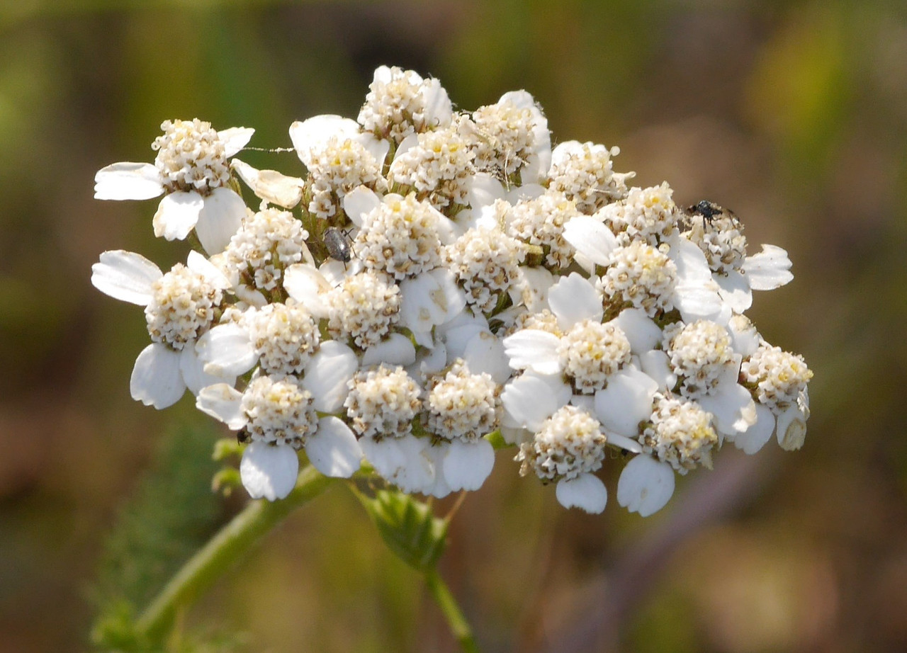 Yarrow dotted grassy areas.  This closeup provides detail that you can't see with your unaided eyes.