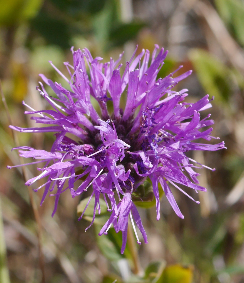 A closeup of a single flower head showing the many individual flowers.