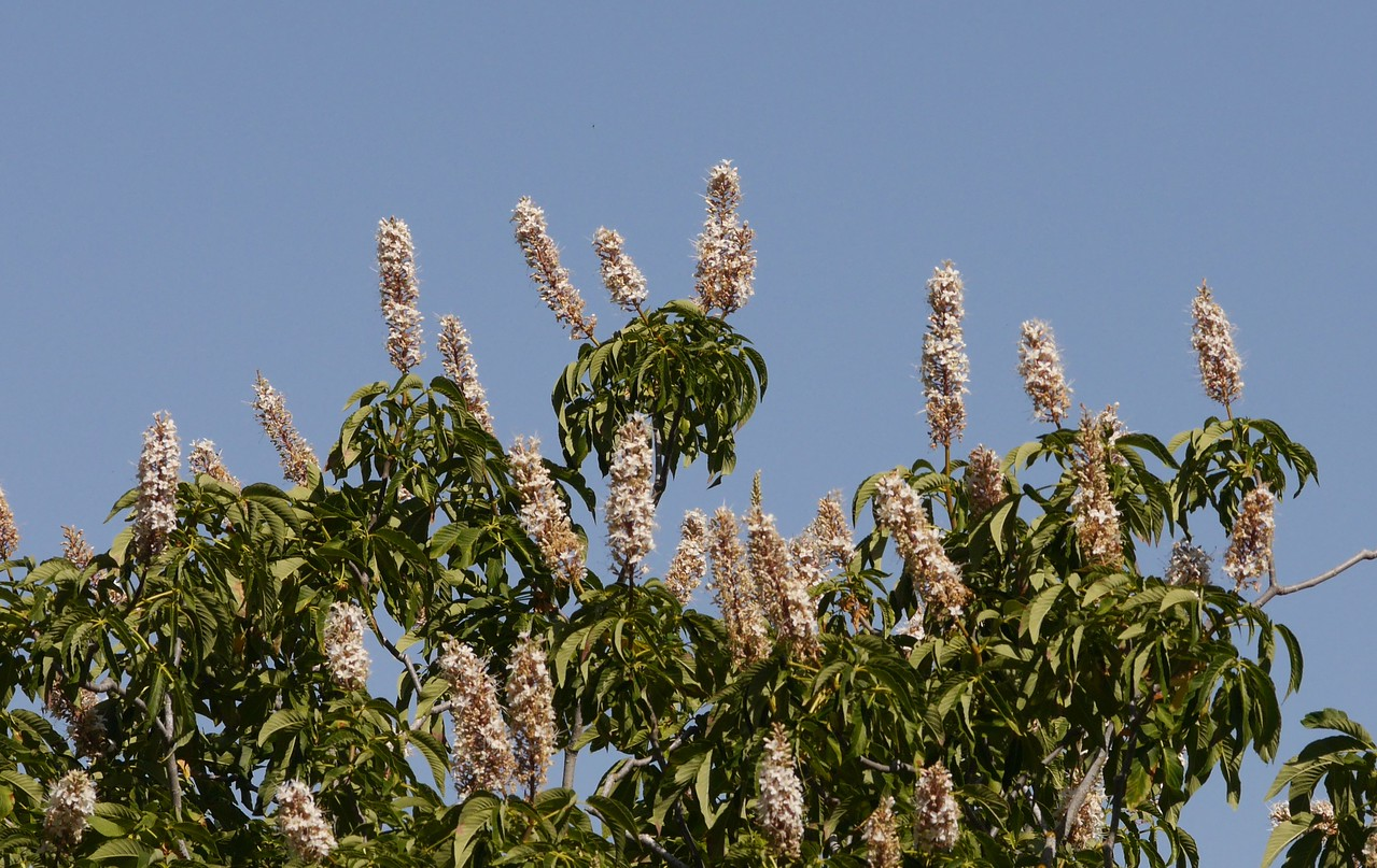 The buckeye trees were in full bloom with many candles of flowers on most trees.