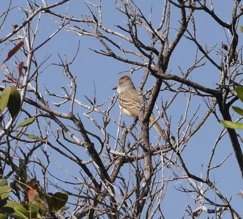 I spied this bird (ash-throated fly-catcher I think) near the road.  Wrong lens for birds but I got a documentation shot.