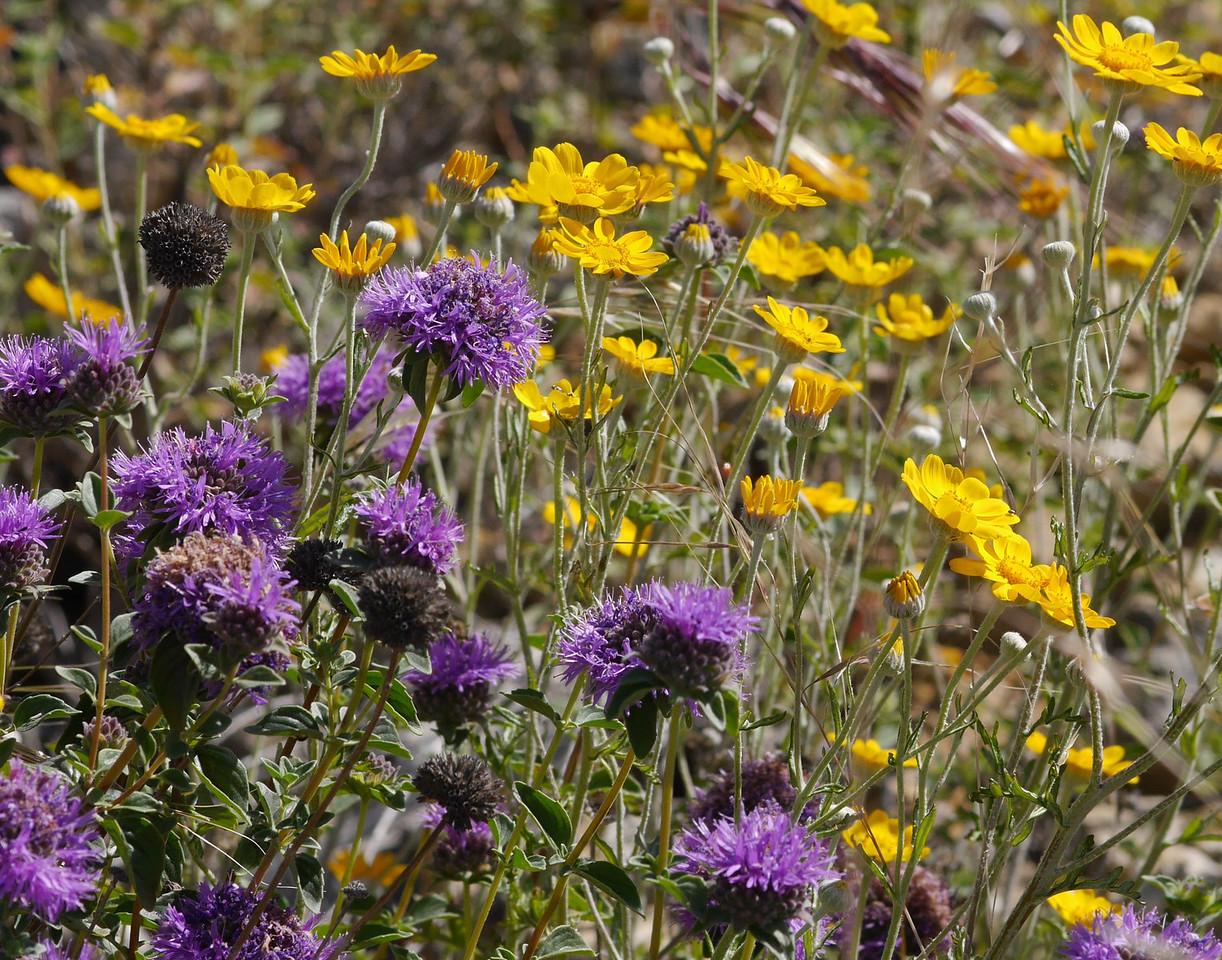 Clumps of coyote mint were present in quarried areas.  Here with sunflowers for company. <br /> <br /> The leaves have a pleasant smell when you gently brush your hand over them.