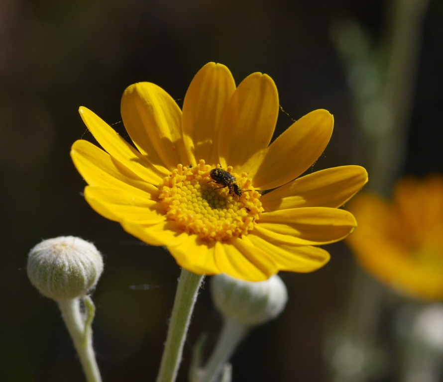 A closeup of a sunflower with a single pollinator.  Unopened buds are visible in the picture.