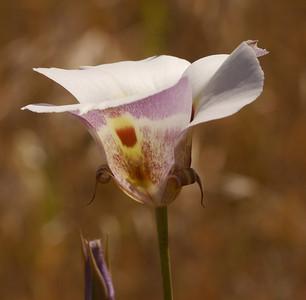 Wildflowers in Lime Ridge Open Space - 5/13/2014