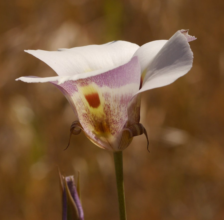 Back to mariposa lilies.  I find the shapes of the flowers to be almost as enjoyable as the colors.