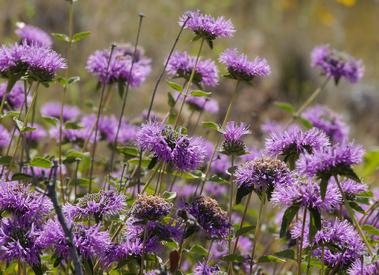 The clumps of coyotte mint provided patches of rich color.  A treat for the eye!