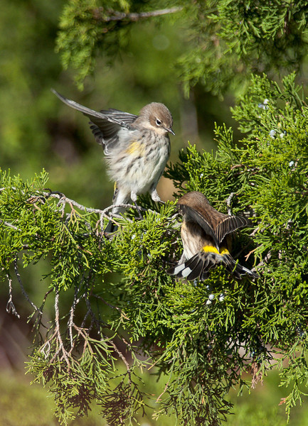 Yellow-rumped Warblers (Myrtle)