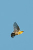 Cape May Warbler in flight