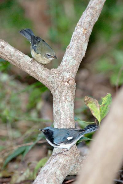 Male and female Black-throated Blue Warblers
