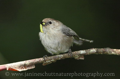 Bushtit with worm at Scenic Beach State Park in Seabeck, Washington.