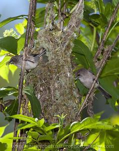 Bushtit pair putting finishing touches on their nest.  Photo taken at Fish Park in Poulsbo, Washington.