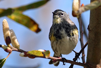 Yellow Rumped Warbler 400mm f5.6L