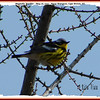 Magnolia Warbler - May 26, 2007 - River Bourgeois, Cape Breton, NS