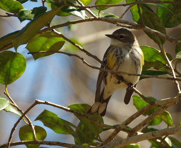Yellow Rumped Warbler Sitting pretty