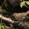 Worm-eating Warbler (Helmitheros vermivorum)