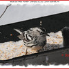 Black-and-white Warbler - February 26, 2011 - Lower Sackville, NS