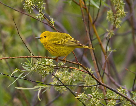This Yellow Warbler photograph was captured at Sherburne National Wildlife Refuge in Zimmerman, Minnesota (5/07).