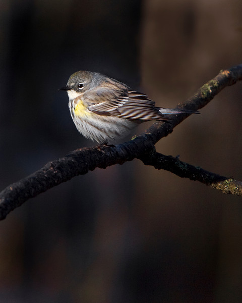 This Myrtle Warbler photograph was captured in Orr, Minnesota (5/08).  This photograph is protected by the U.S. Copyright Laws and shall not to be downloaded or reproduced by any means without the formal written permission of Ken Conger Photography.
