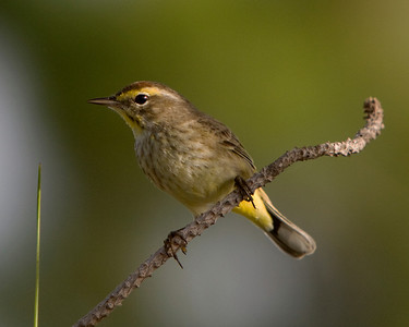This Palm Warbler was photographed in Wakodahatchee Wetlands Park, Florida (4/08).   This photograph is protected by the U.S. Copyright Laws and shall not to be downloaded or reproduced by any means without the formal written permission of Ken Conger Photography.