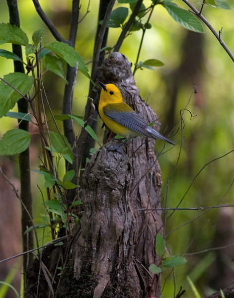This photograph of a Prothonotary Warbler was captured on the Dragon River near Saluda, Virginia (5/07).