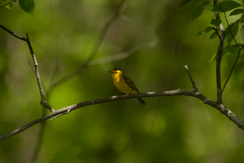 Wilson's Warbler. Grindstone Nature Area, Columbia, Boone County, Missouri.